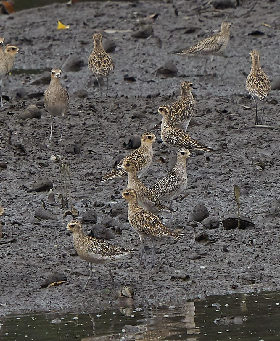 Pacific Golden-Plover Photo by Steven Cheong