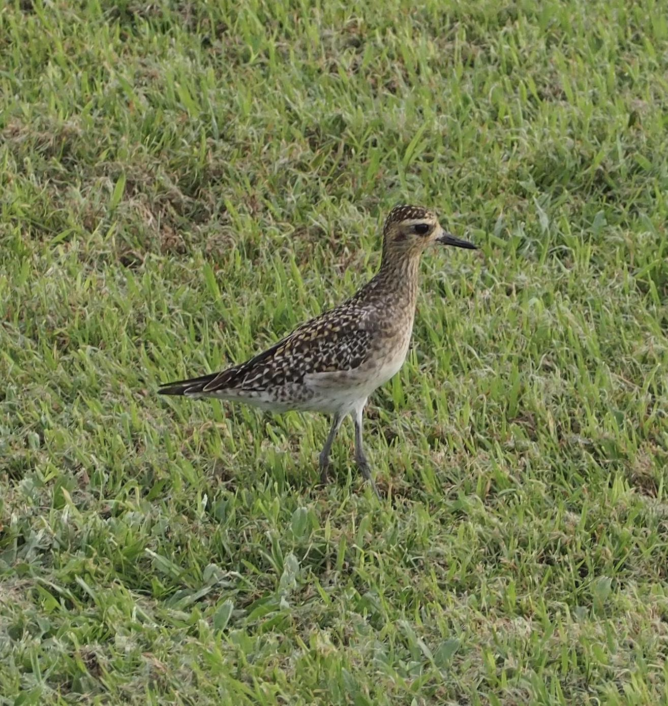 Pacific Golden-Plover Photo by Davy Tolman