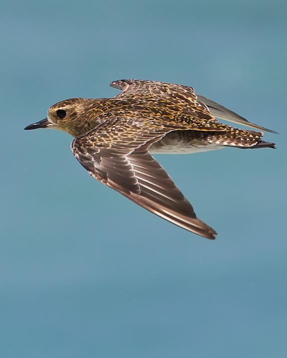 Pacific Golden-Plover Photo by Mat Gilfedder