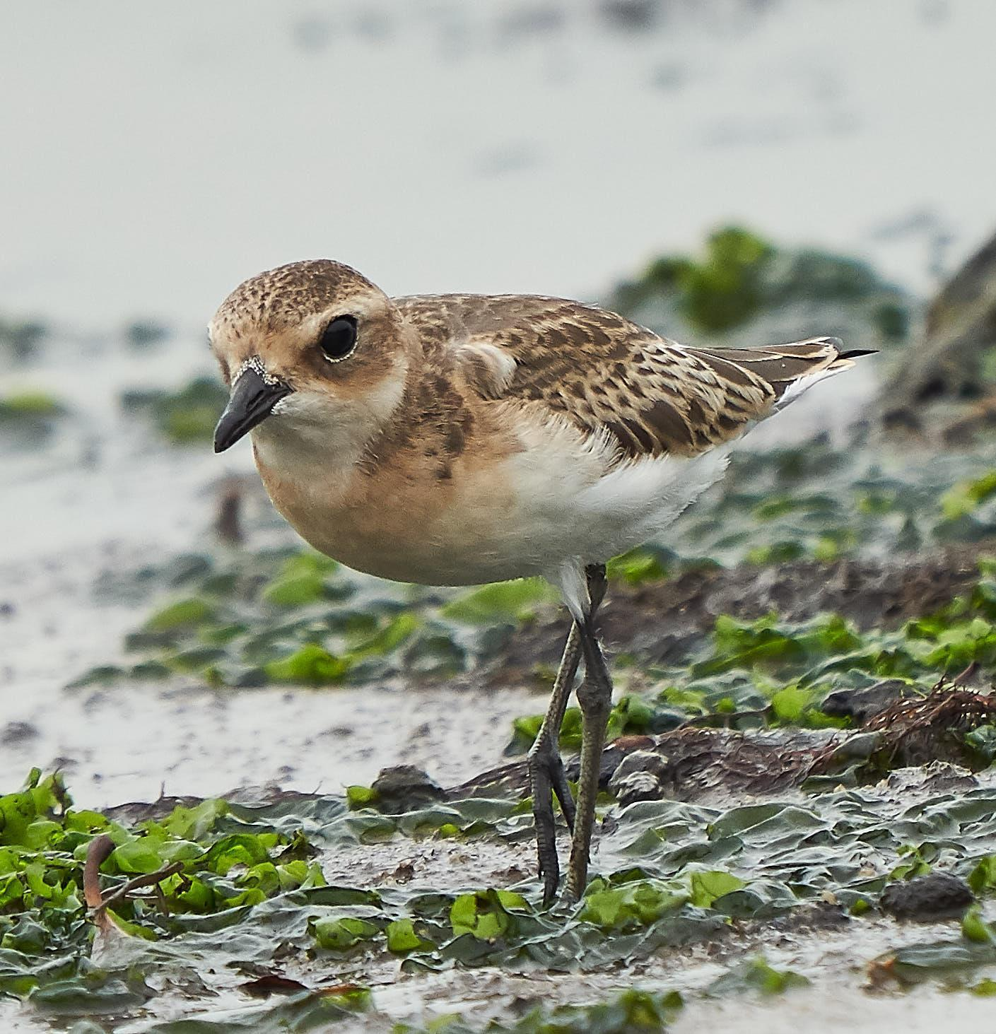 Lesser Sand-Plover Photo by Steven Cheong