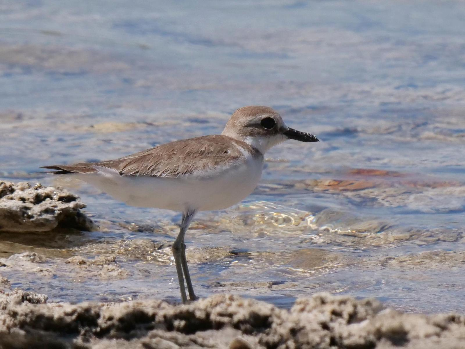 Greater Sand-Plover Photo by Peter Lowe