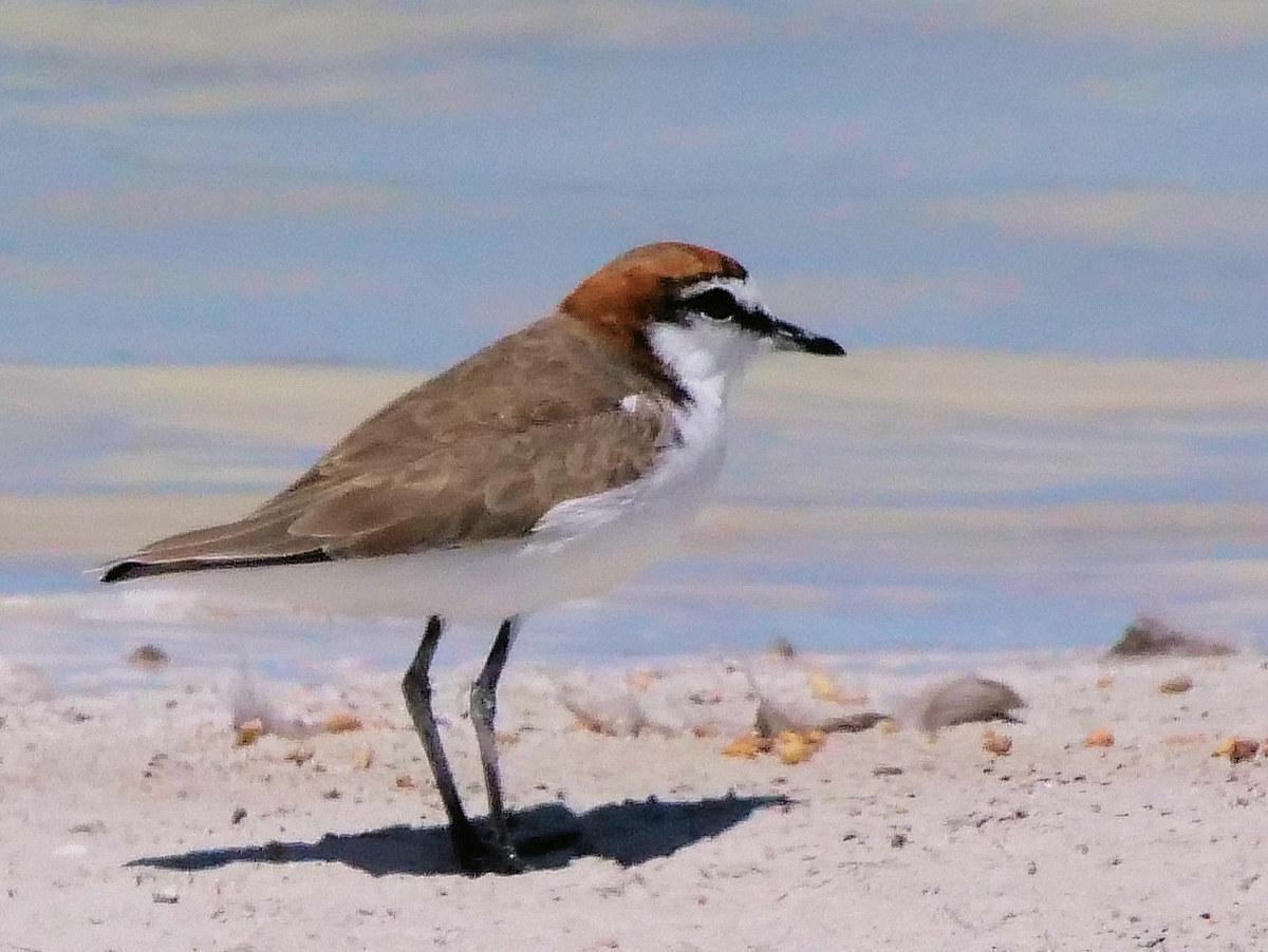 Red-capped Plover Photo by Peter Lowe