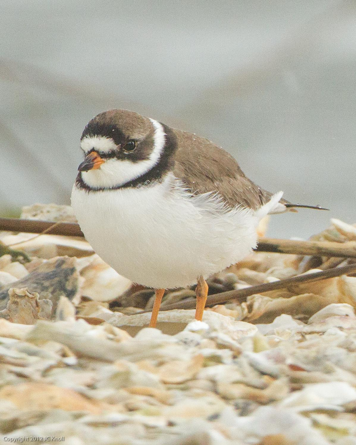Semipalmated Plover Photo by JC Knoll