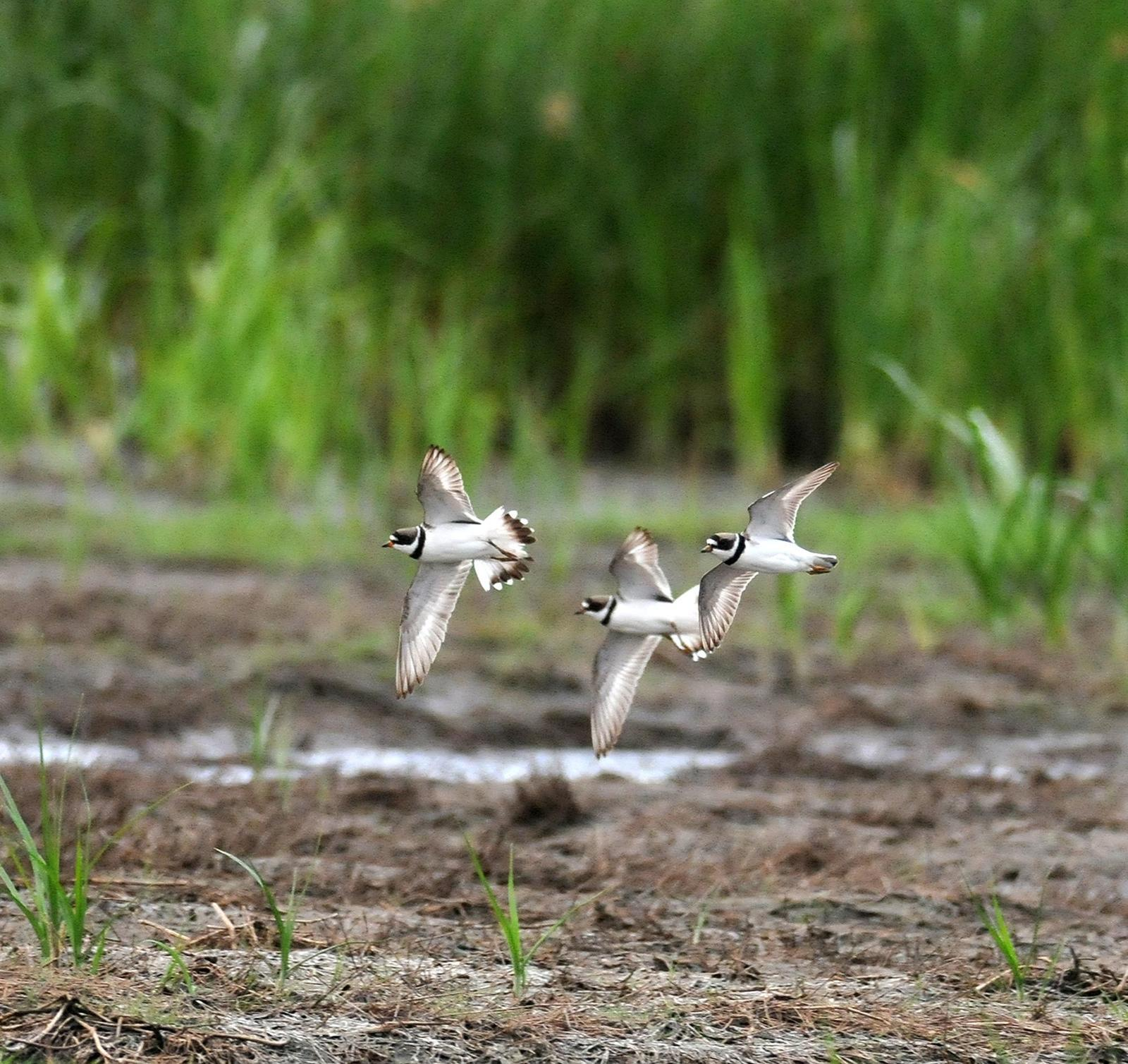 Semipalmated Plover Photo by Steven Mlodinow