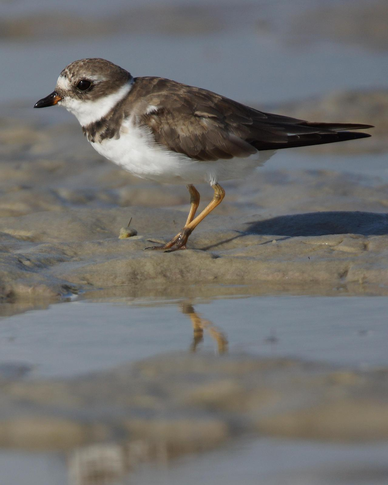 Semipalmated Plover Photo by Steve Percival