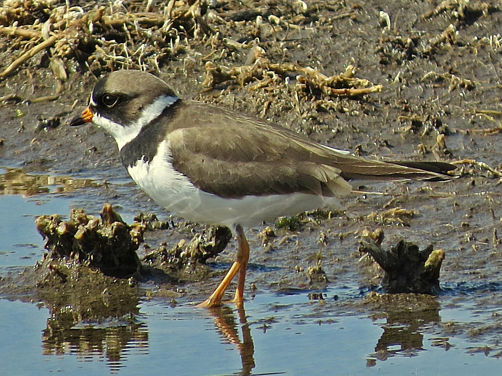 Semipalmated Plover Photo by Bob Neugebauer