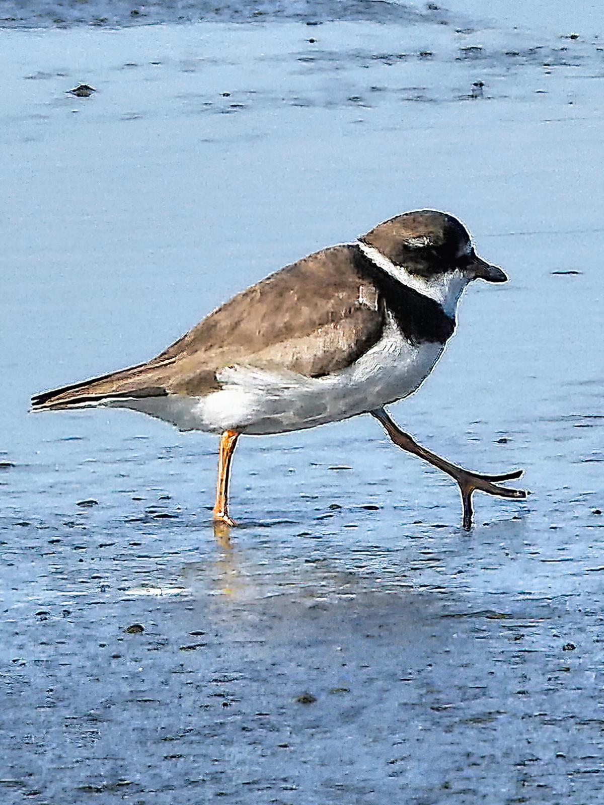 Semipalmated Plover Photo by Dan Tallman