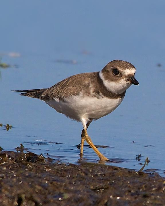 Semipalmated Plover Photo by Denis Rivard