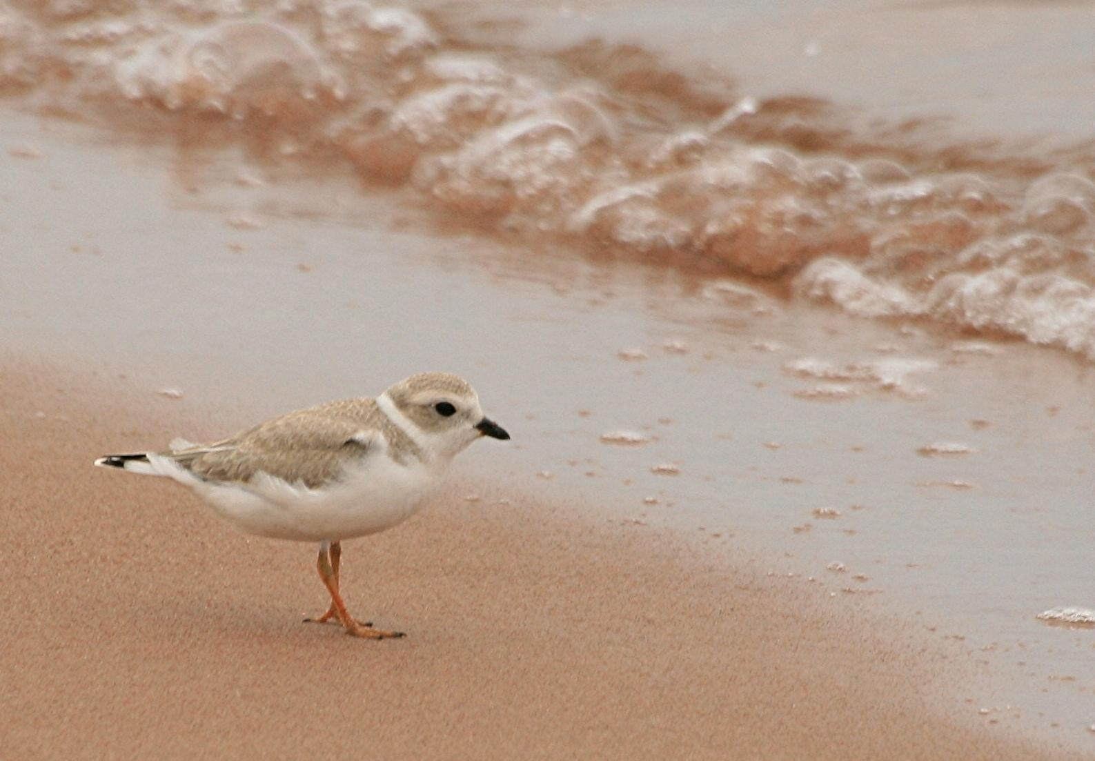 Piping Plover Photo by Aaron Hywarren