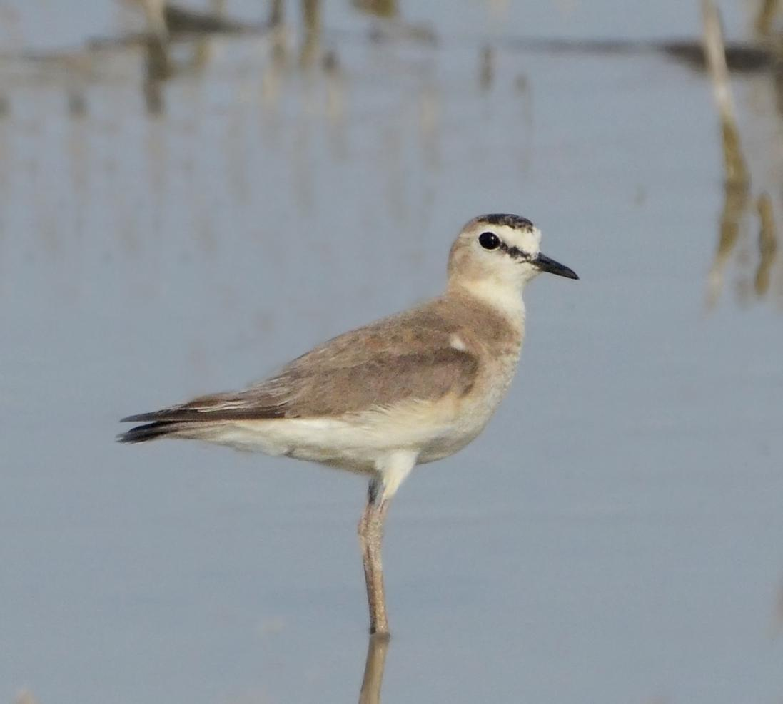 Mountain Plover Photo by Steven Mlodinow