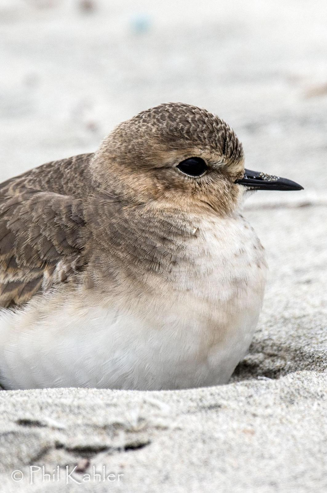 Mountain Plover Photo by Phil Kahler