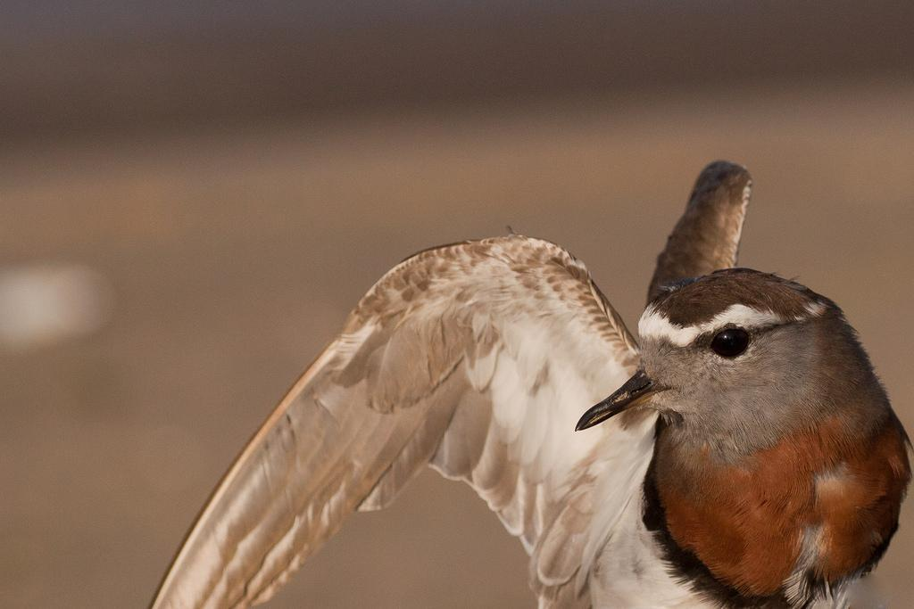Rufous-chested Dotterel Photo by Fernando Medrano
