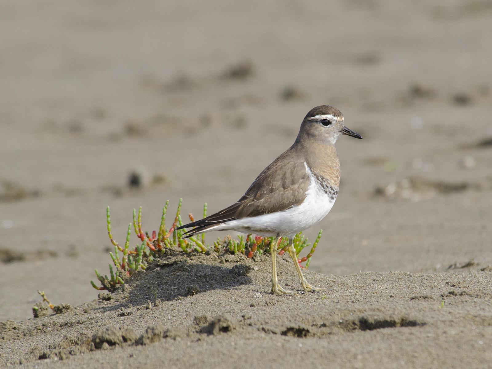 Rufous-chested Dotterel Photo by Cristian  Pinto