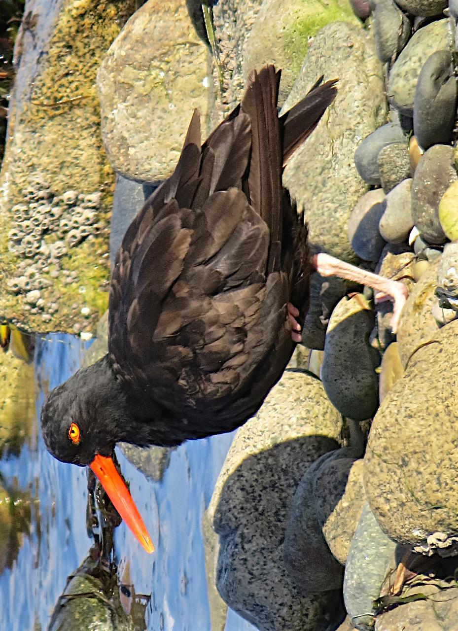 Black Oystercatcher Photo by Brian Avent