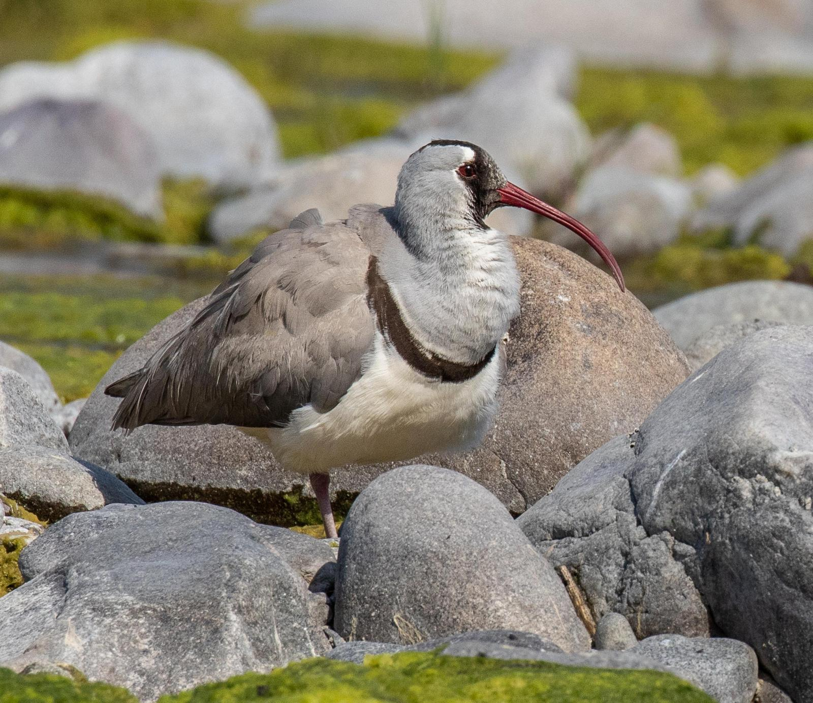 Ibisbill Photo by Kate Persons