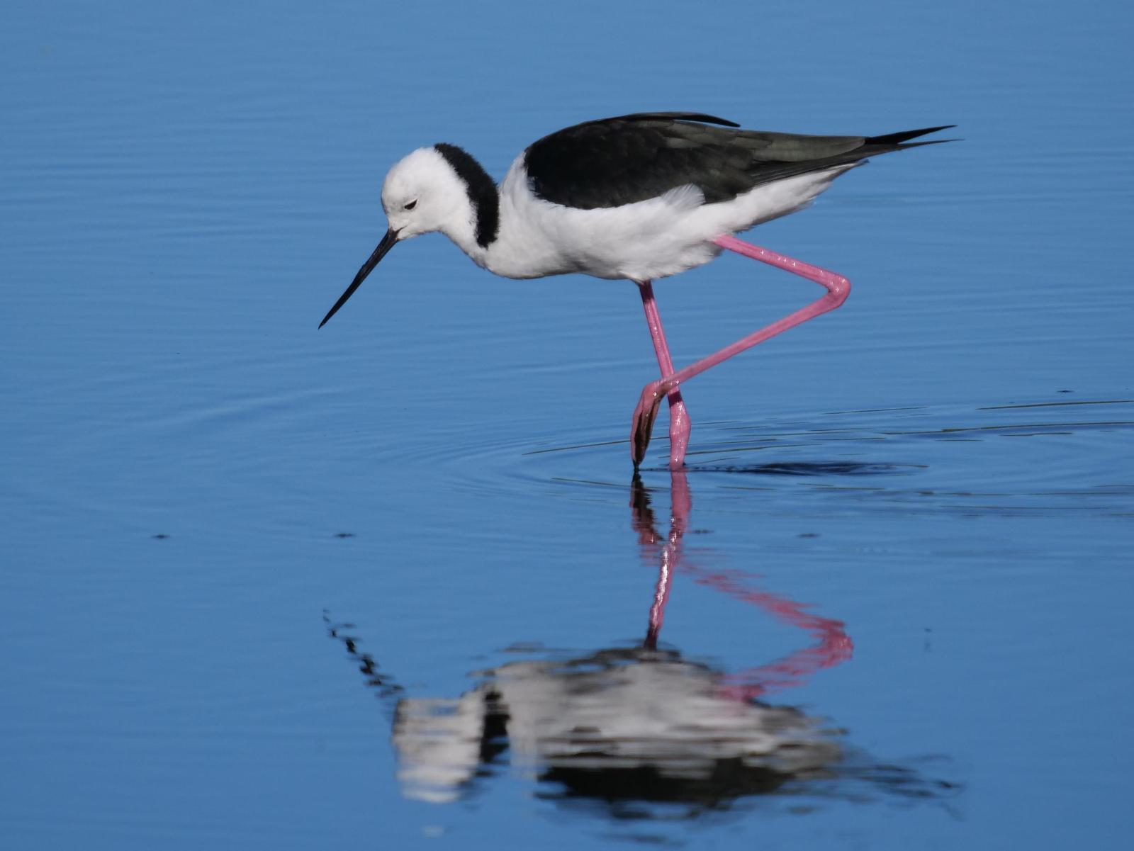 Pied Stilt Photo by Peter Lowe