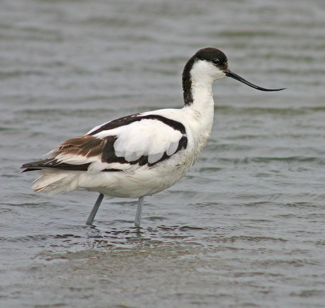 Pied Avocet Photo by Peter Boesman