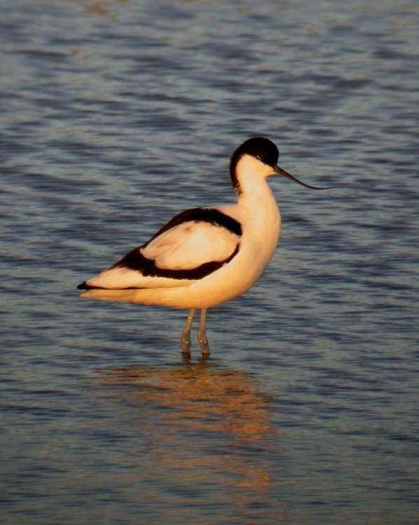 Pied Avocet Photo by Sean Fitzgerald