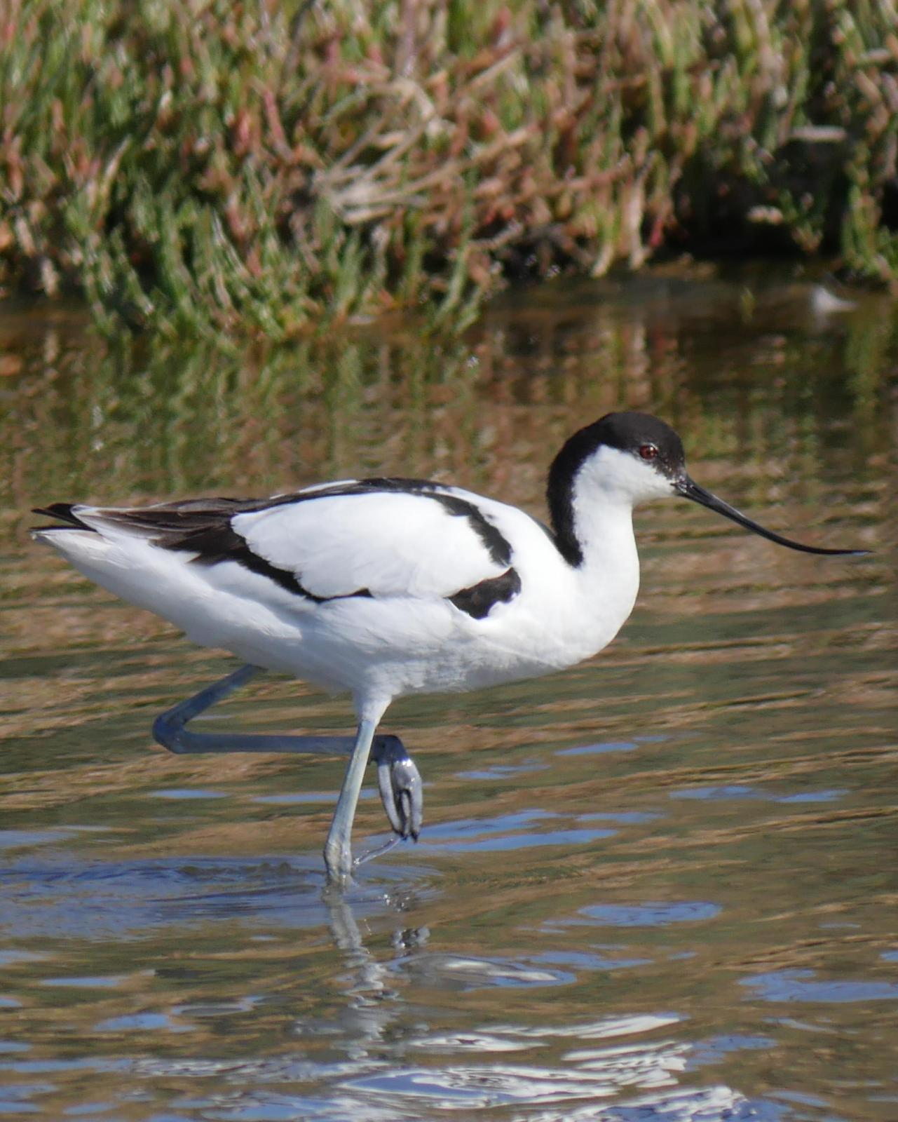 Pied Avocet Photo by Peter Lowe