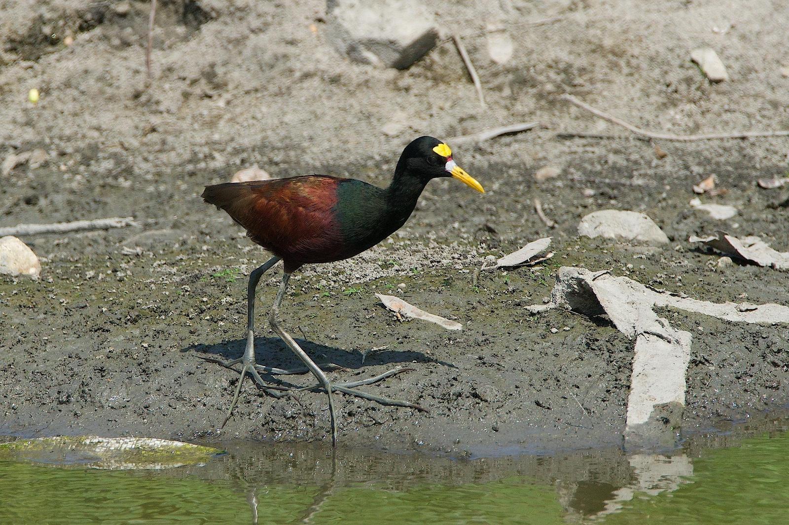 Northern Jacana Photo by Gerald Hoekstra
