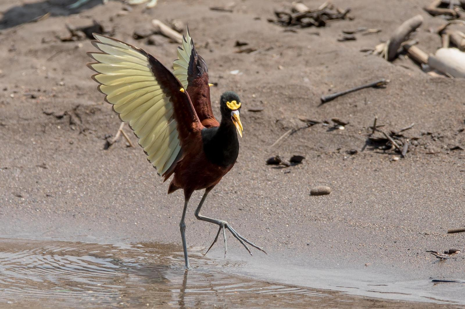 Northern Jacana Photo by Gerald Hoekstra