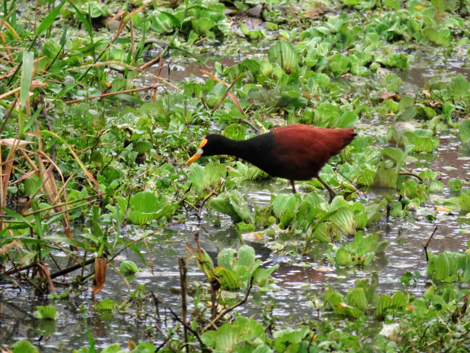 Northern Jacana Photo by Carey Parks