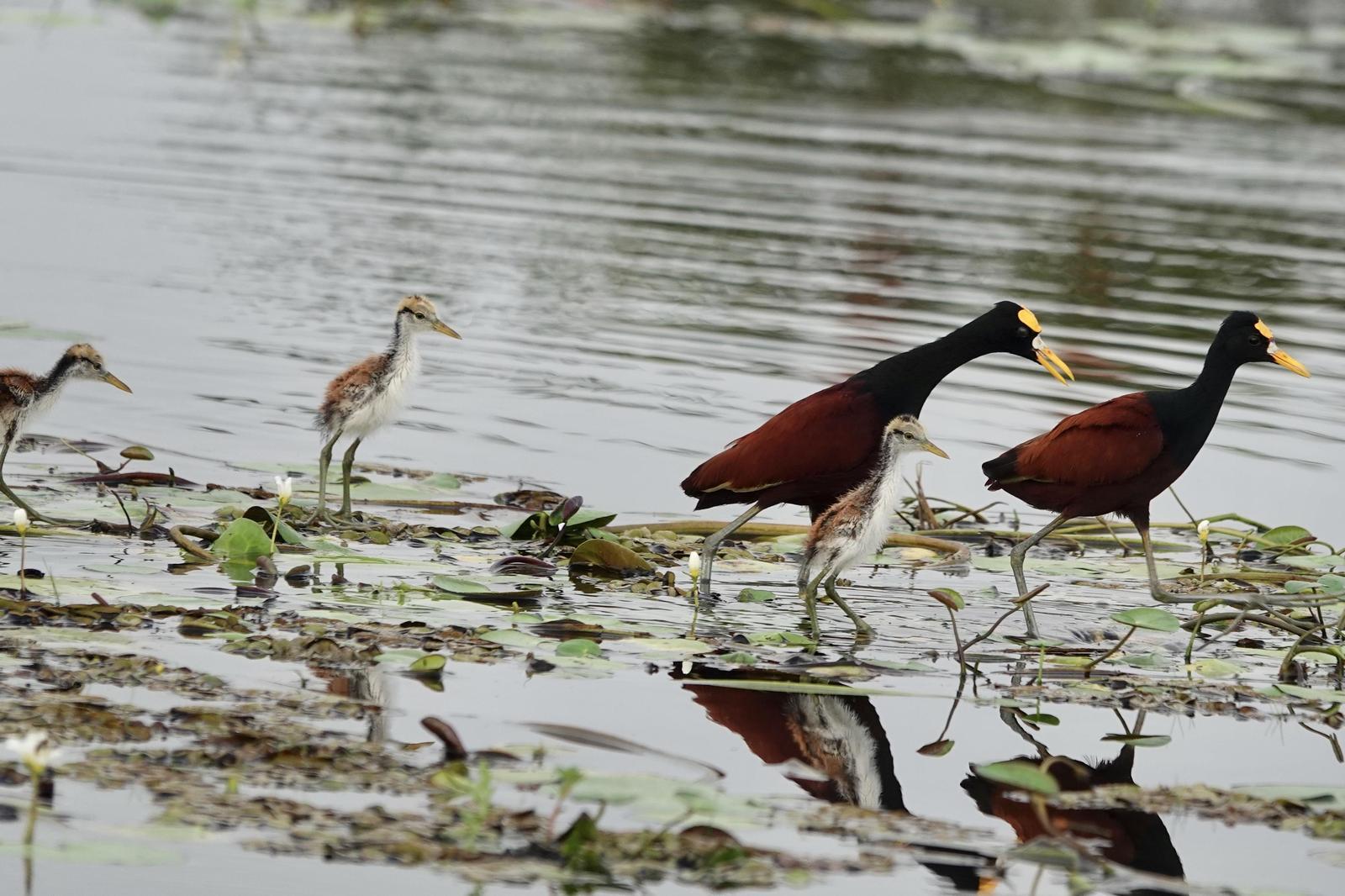 Northern Jacana Photo by Bonnie Clarfield-Bylin