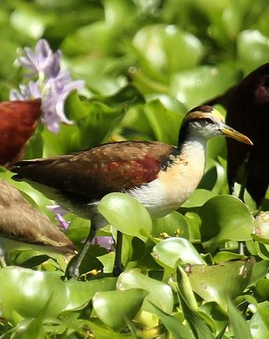 Northern Jacana Photo by Cathy Sheeter
