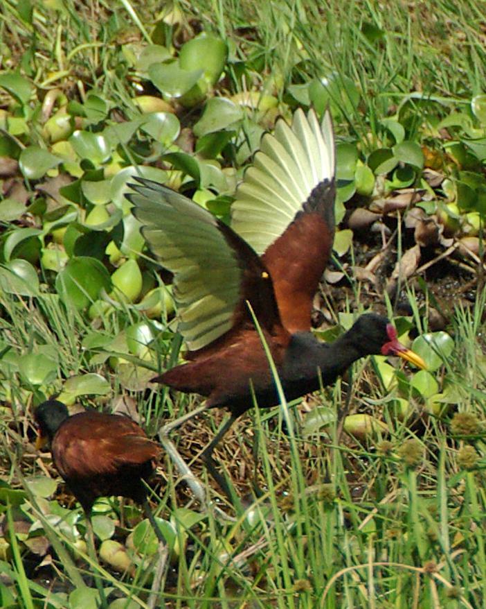 Wattled Jacana Photo by Robert Polkinghorn
