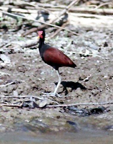 Wattled Jacana Photo by Dan Tallman