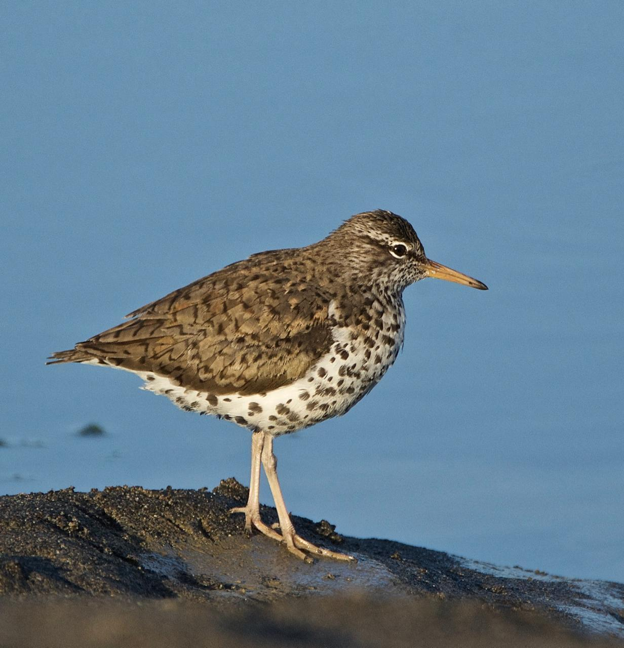 Spotted Sandpiper Photo by Brian Avent