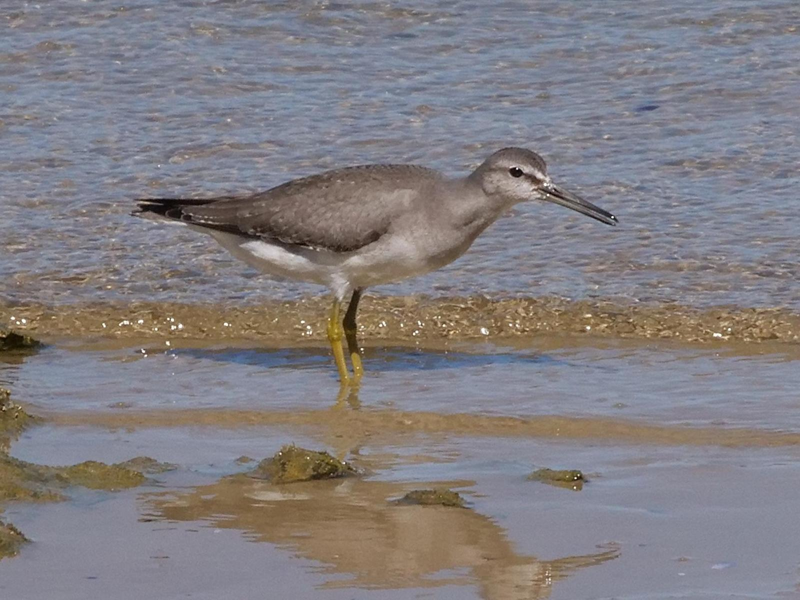 Gray-tailed Tattler Photo by Peter Lowe