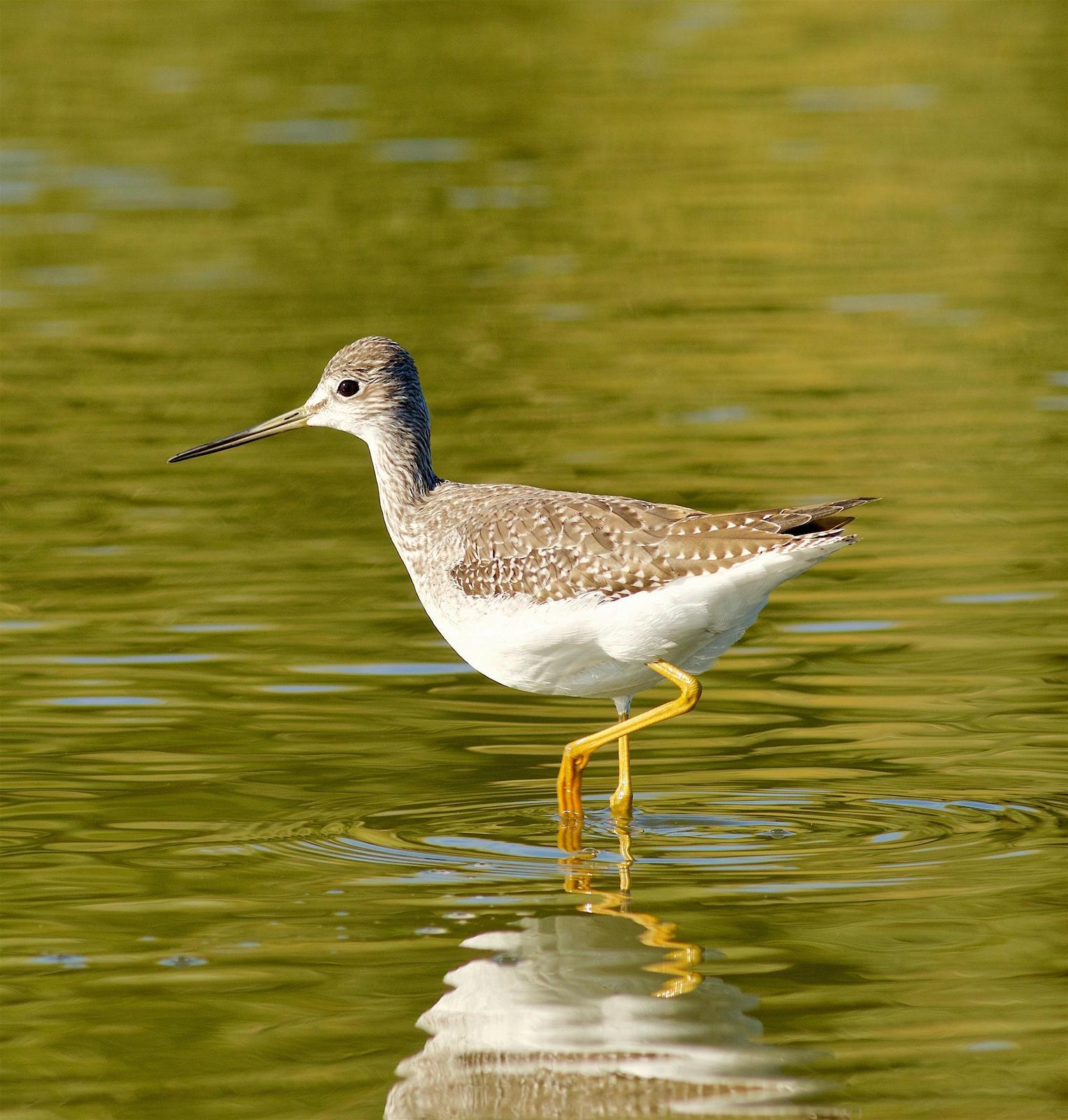 Greater Yellowlegs Photo by Kathryn Keith