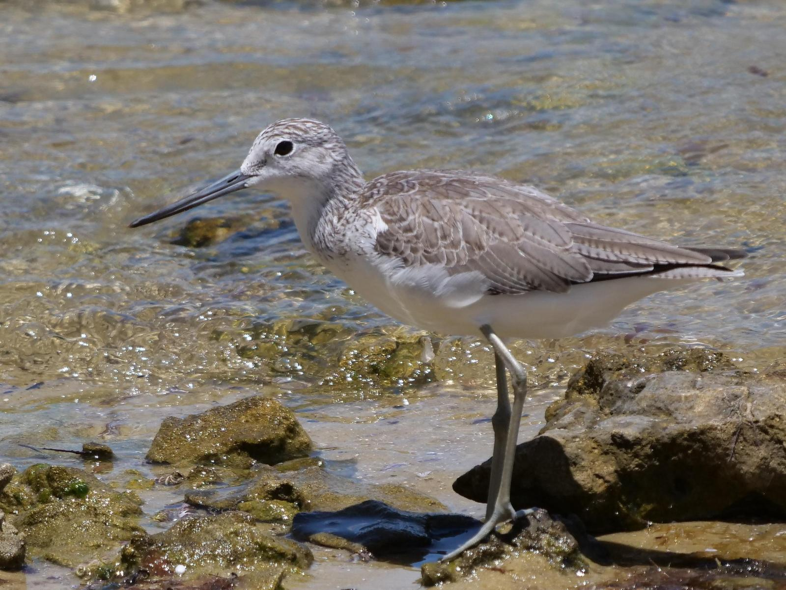 Common Greenshank Photo by Peter Lowe