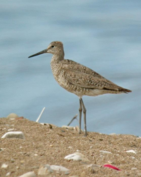 Willet Photo by Sean Fitzgerald