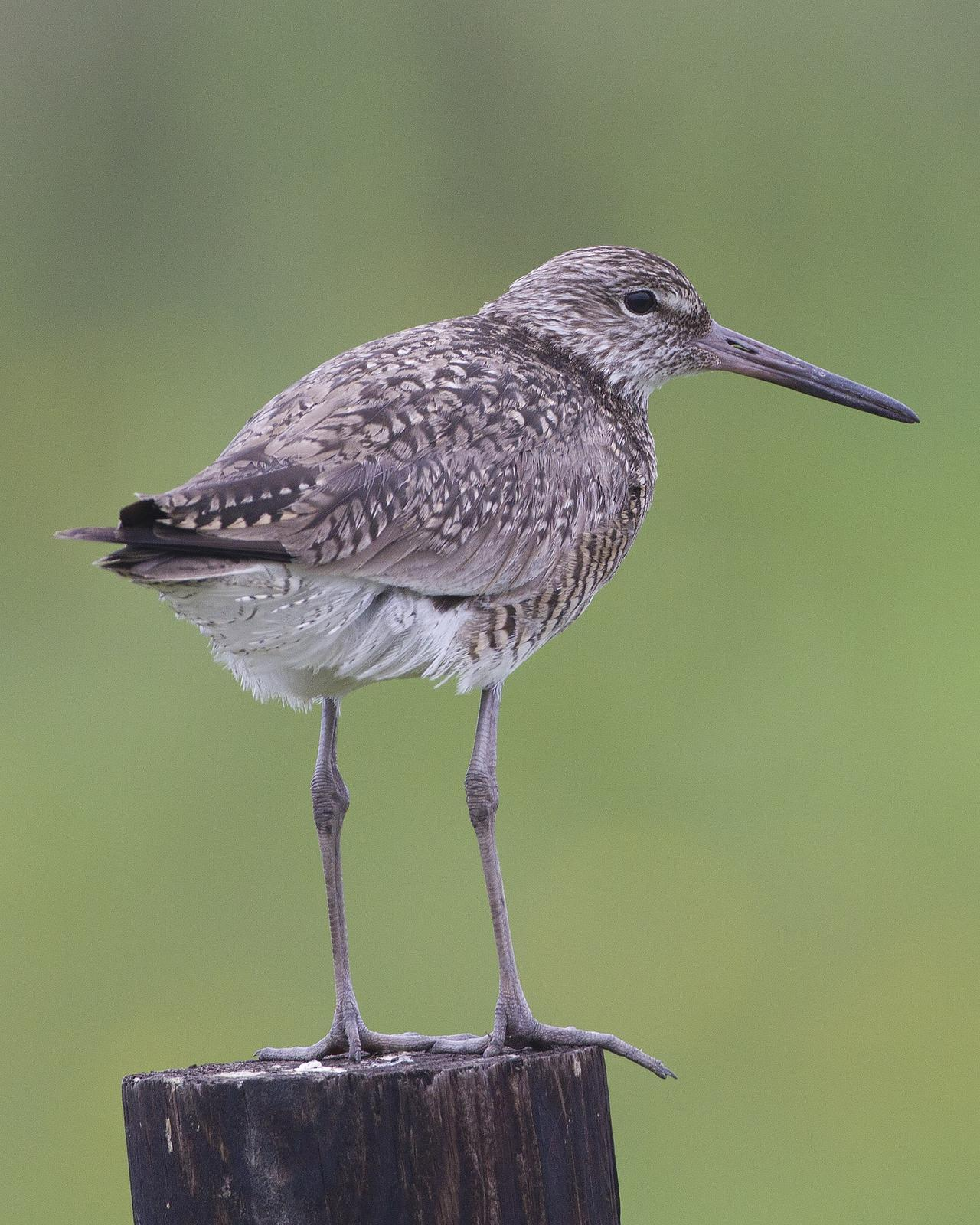 Willet Photo by Bill Adams