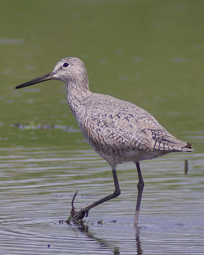 Willet Photo by Gerald Hoekstra