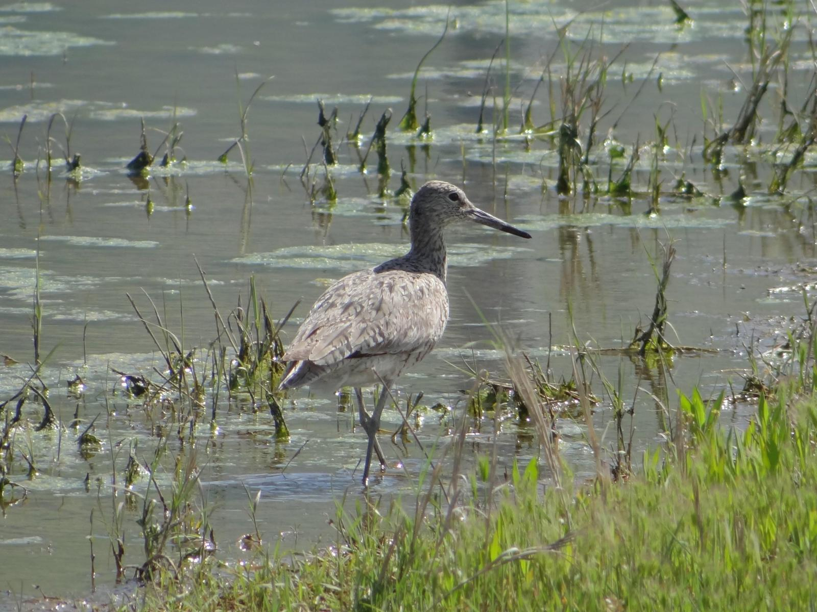Willet Photo by Jeff Hardy