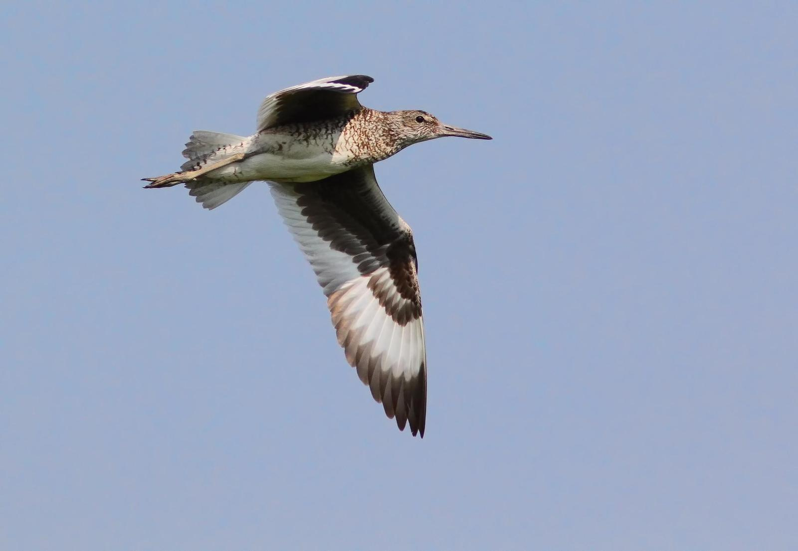 Willet Photo by Michael Moore