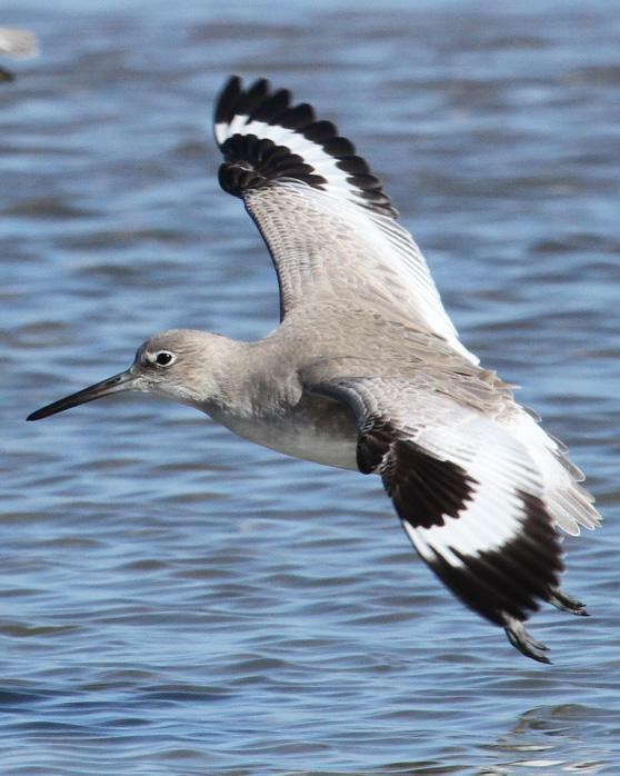 Willet Photo by Kent Fiala