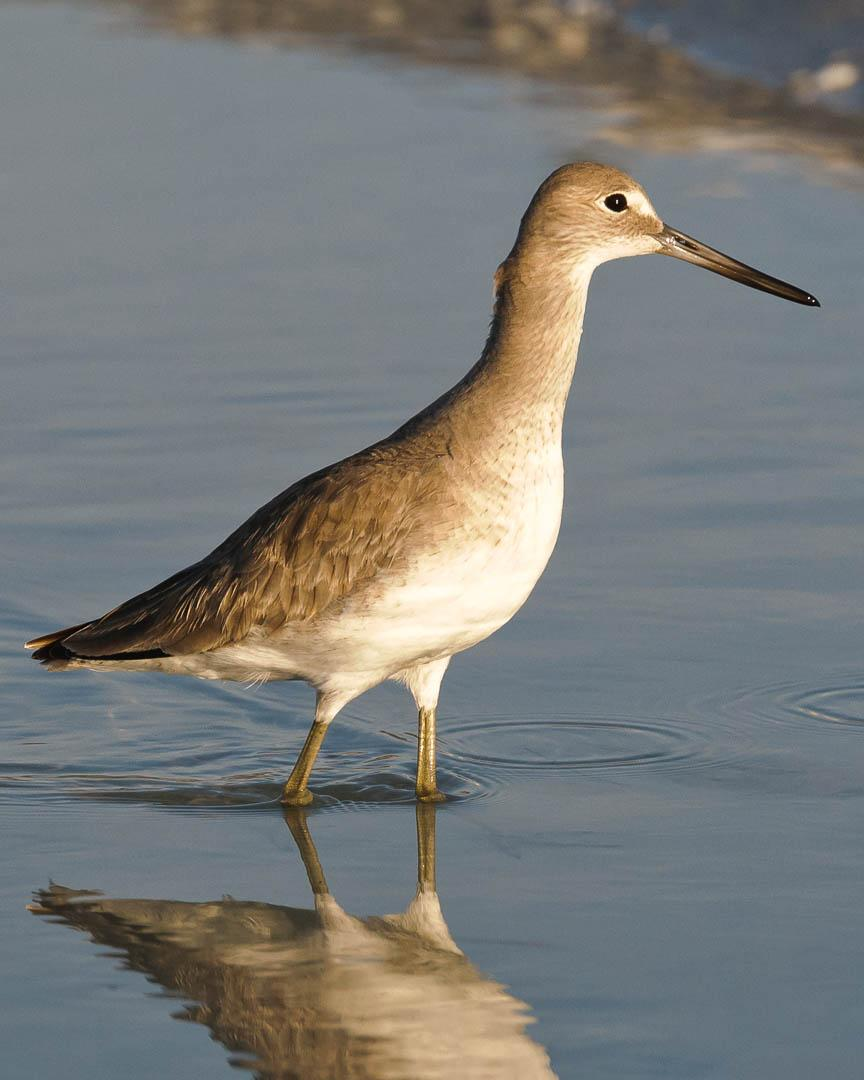 Willet Photo by John Hoyt