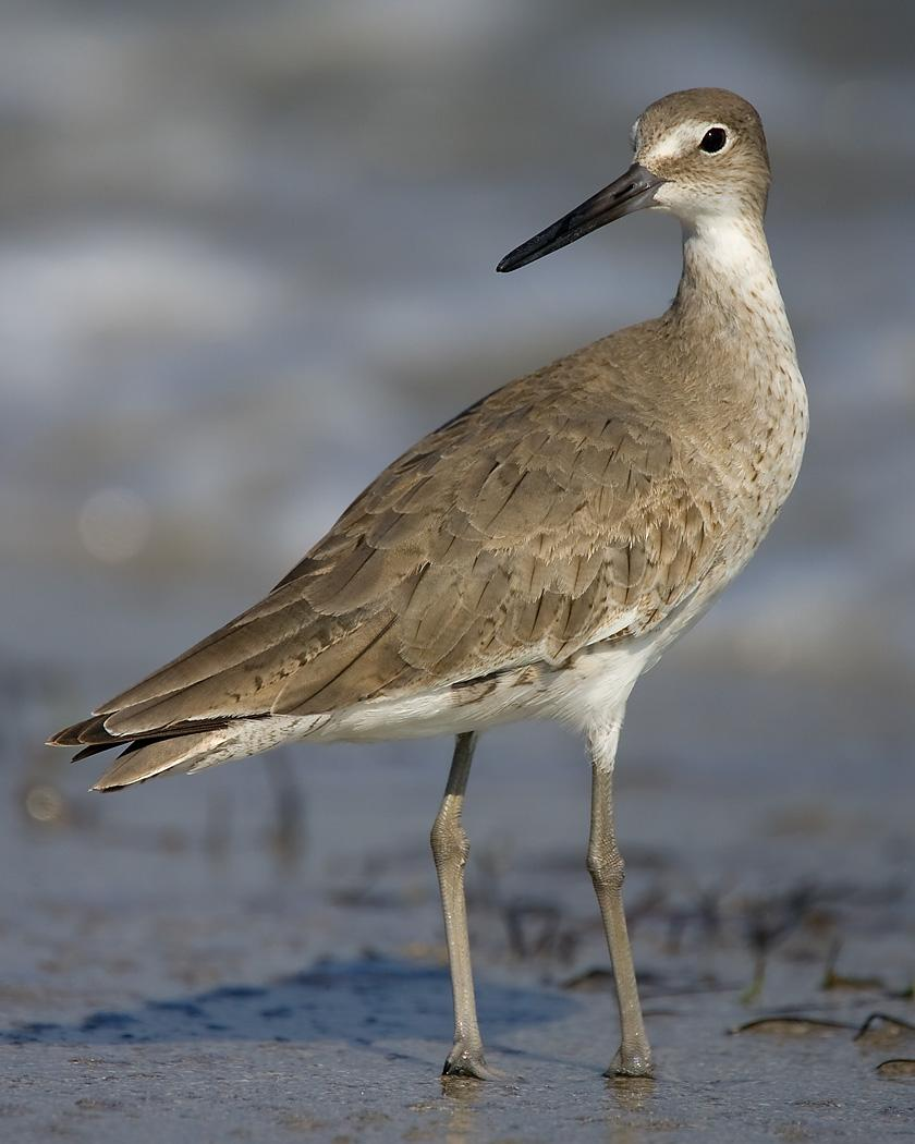 Willet Photo by Josh Haas