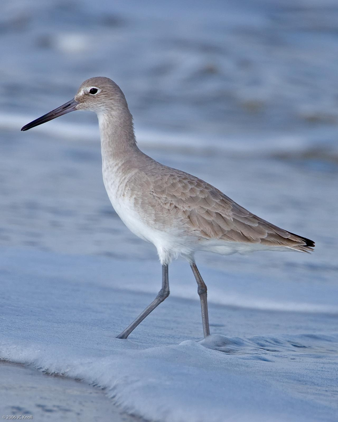 Willet Photo by JC Knoll