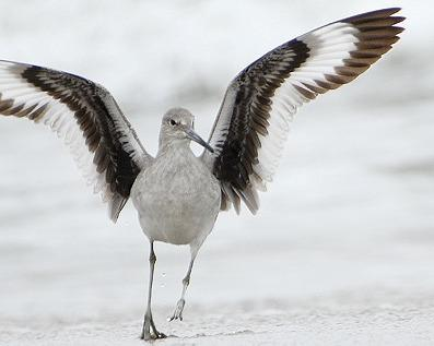 Willet Photo by Pete Myers