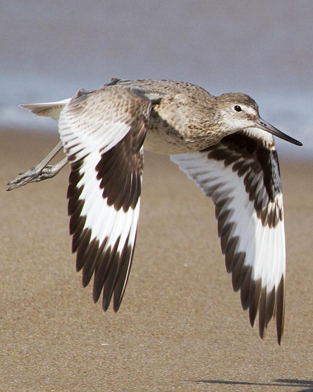 Willet Photo by Ashley Bradford