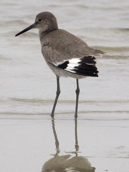 Willet Photo by Dan Tallman