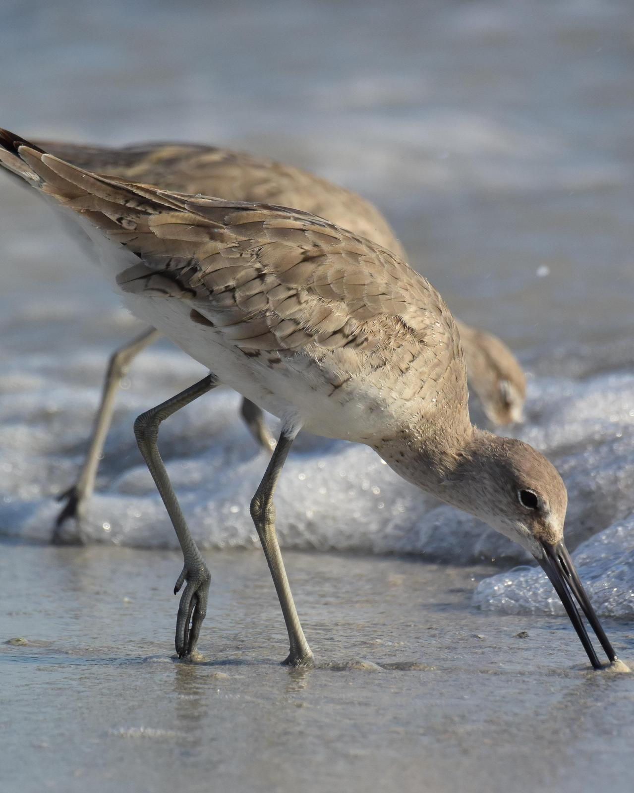 Willet Photo by Steve Percival