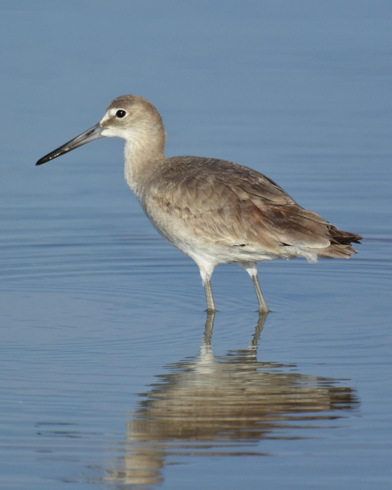 Willet Photo by Emily Percival