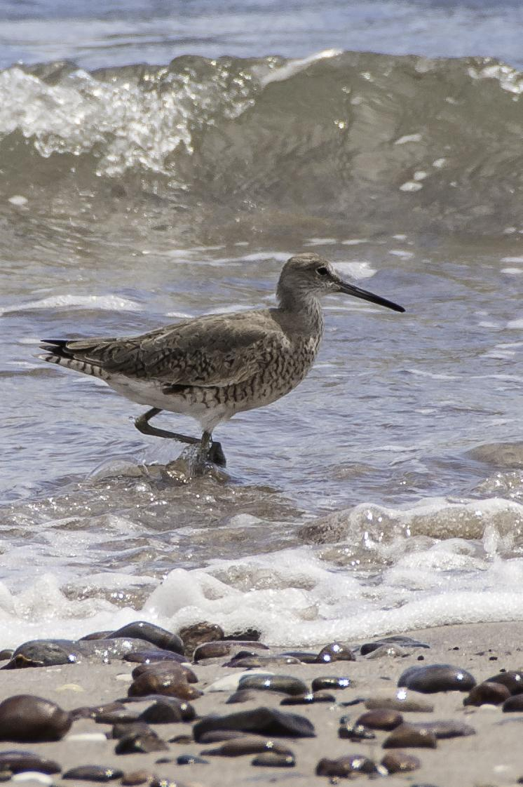Willet Photo by Mason Rose