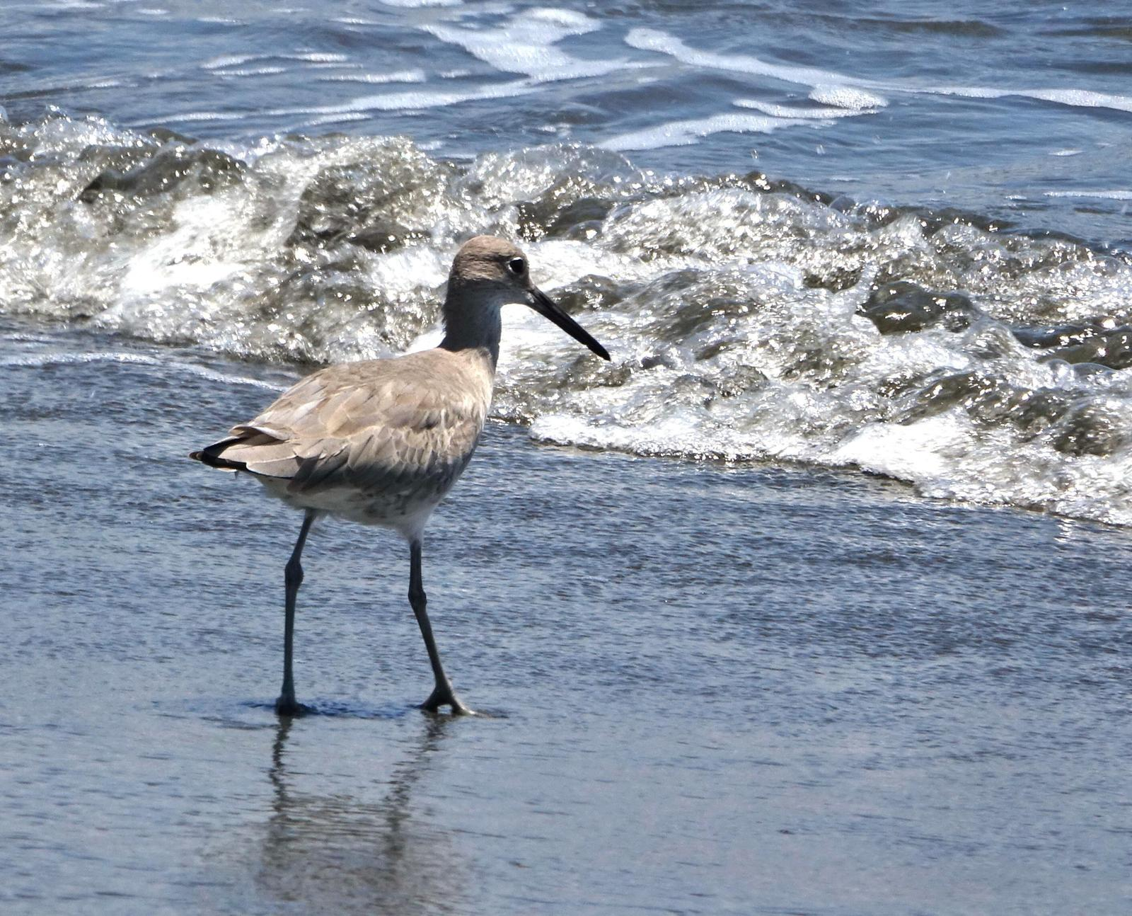 Willet Photo by Doug Swartz